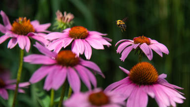 Blooming pink flowers and a bee